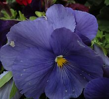 Purple Pansy by marybedy