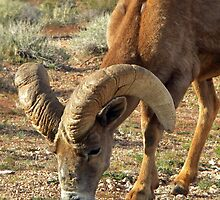 Battlescarred Big Horn Sheep-Nevada by ValettaClements