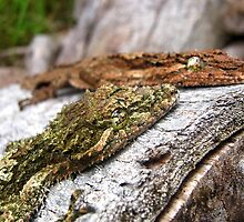 Faces of Leaf-Tailed Geckoes by Vanessa Barklay