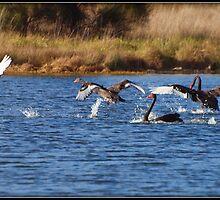 A Gaggle of ..........ah......Swans!!!! by shortshooter-Al