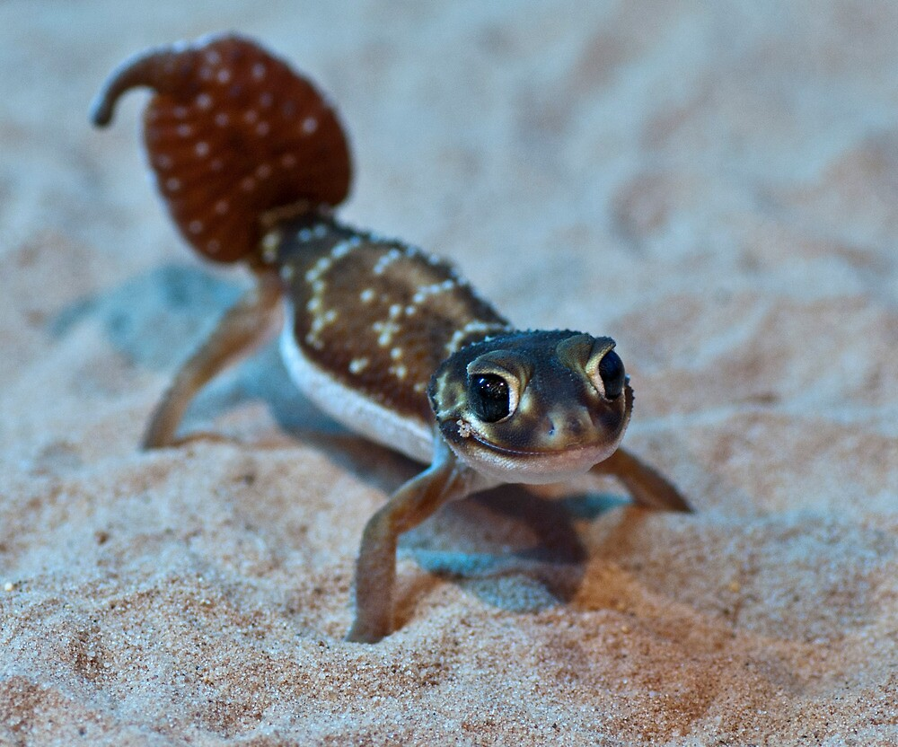 Smooth Knob- tailed Gecko by Bernie Rosser