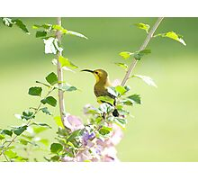 Mummy sunbird  Photographic Print
