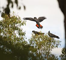red-tailed black cockatoos by col hellmuth