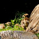 Peacock Chick Cuddling With Mother by Joe Jennelle