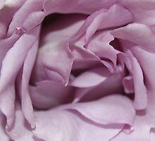 Lilac Garden Rose by Lou Wilson
