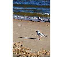 Silver Gull - Bribie Island Photographic Print