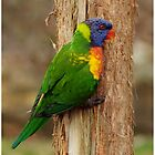Rainbow Lorikeet by Stuart Cox