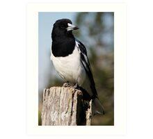 Pied Butcher Bird - Mt Mee, QLD Art Print