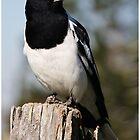 Pied Butcher Bird - Mt Mee, QLD by Stuart Cox