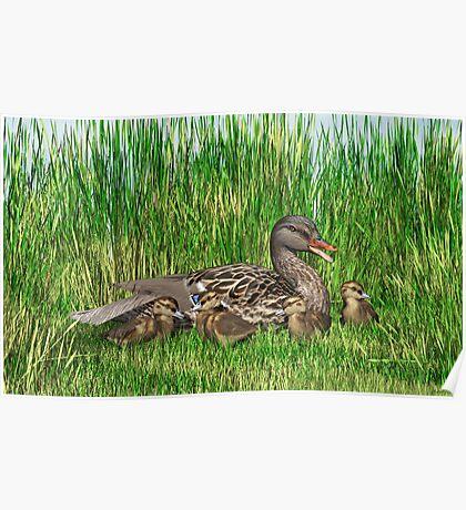 Female Mallard Duck and Chicks Poster