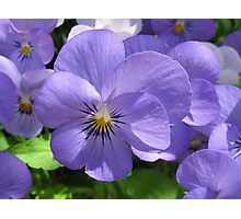 Pansies in the Park Photographic Print