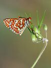 Euphydryas species by jimmy hoffman