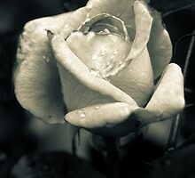 Rose after a spring shower by Mitch Labuda