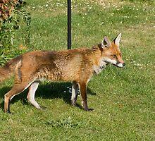 Urban fox by MisterD