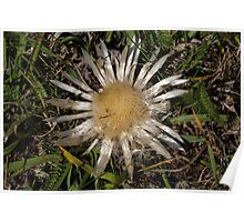 Dwarf Carline Thistle (Carlina acaulis) in the Swiss Alps. Poster