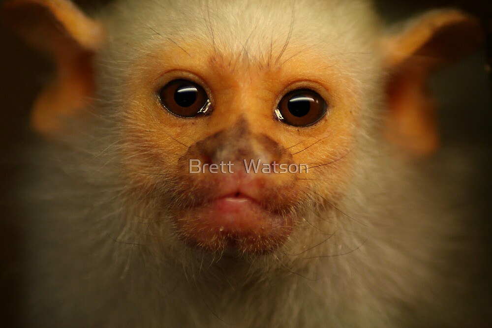 marmoset by Brett Watson Stand By Me  Ethiopia