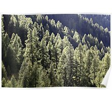 A larch forest in autumn Poster