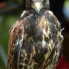 Hawk 4 by Roslyn Lunetta