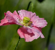 Pink Poppy by Martina Fagan