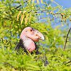 California Condor by Robby Ticknor
