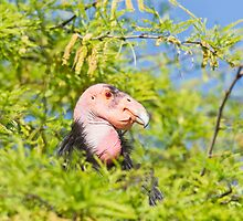 California Condor by Robby Ticknor