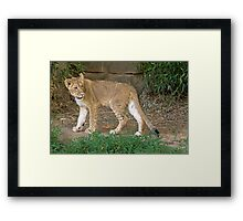 Lion cub at National Zoo, Washington, DC Framed Print