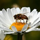 Feasting on Daisies by Mark Hughes