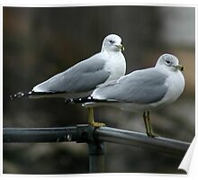 seagull pair Poster