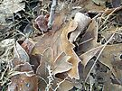 Frost on the Forest Floor by MotherNature
