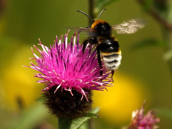 White Bottomed Bumble Bee by Mark Hughes