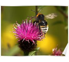 White Bottomed Bumble Bee Poster