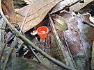 Scarlet Elf Cup Mushroom - Sarcoscypha dudleyi or Sarcoscypha austriaca by MotherNature