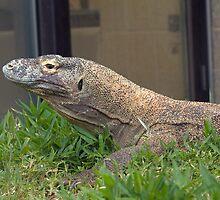 Komodo dragon by Thad Zajdowicz