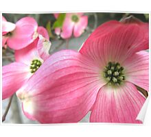 Pink Dogwood Poster