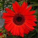 RED GERBERA by Lee d'Entremont