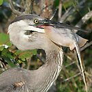 Blue heron`s catch of the day! by jozi1