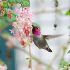 Anna's Hummingbird by tedmonds