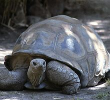 Tortoise on the move by Bev Pascoe