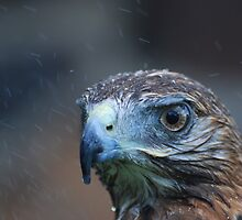 Red Tail Hawk by Pljammie