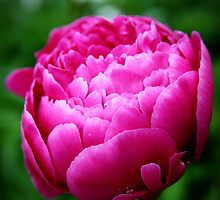 Peony.... No, I said PEE-ON-EEEEE by Becky Trudell