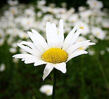 Daisy, Daisy by Becky Trudell