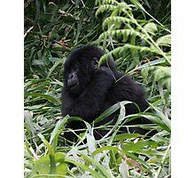 Baby gorilla, Congo Photographic Print