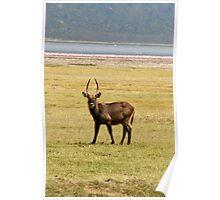 Waterbuck, Lake Nakuru, Kenya Poster
