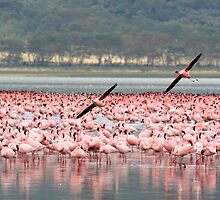 Pink flamingos, Lake Nakuru, Kenya by Justine Chesterman