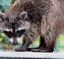 Rainy Day Raccoon by Veronica Schultz