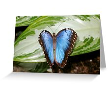 Common Blue Morpho Butterfly Greeting Card