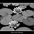 Waterlilies in Black and White by Rose Santuci-Sofranko