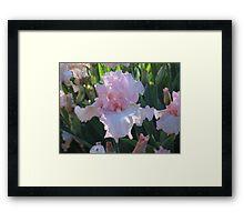 Delicate Pink Iris Framed Print