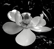 Magnolia Flower By Jonathan Green by Jonathan  Green