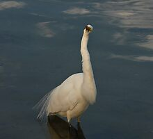 INTERMEDIATE EGRET by DIZZYHEIGHTS